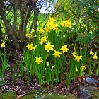 Garden Daffodils.. Lyme Dorset UK by lynn carter