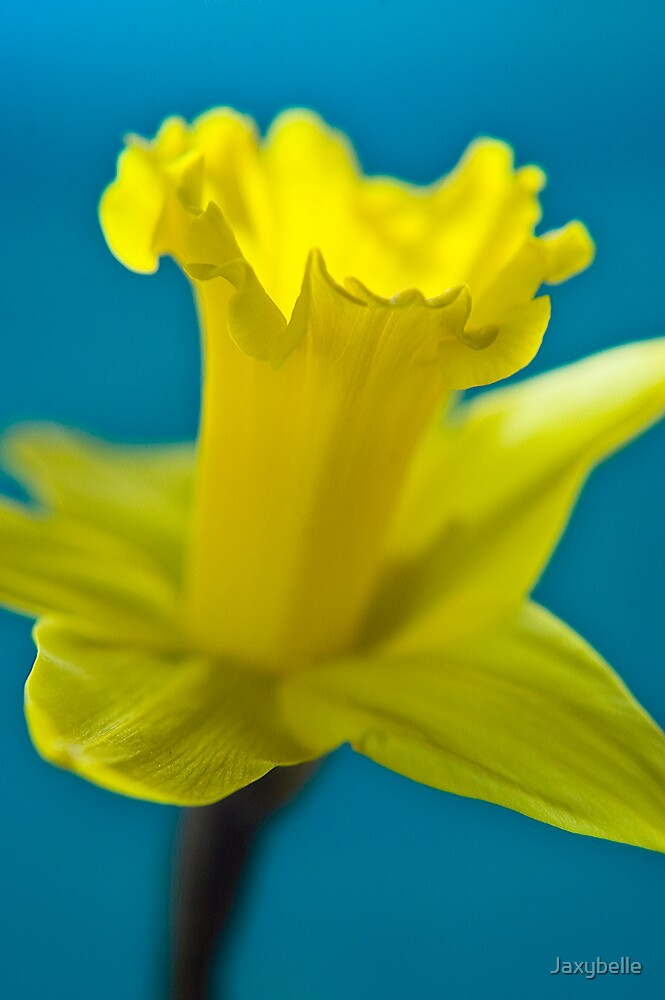 Daffodil 2 by Jaxybelle