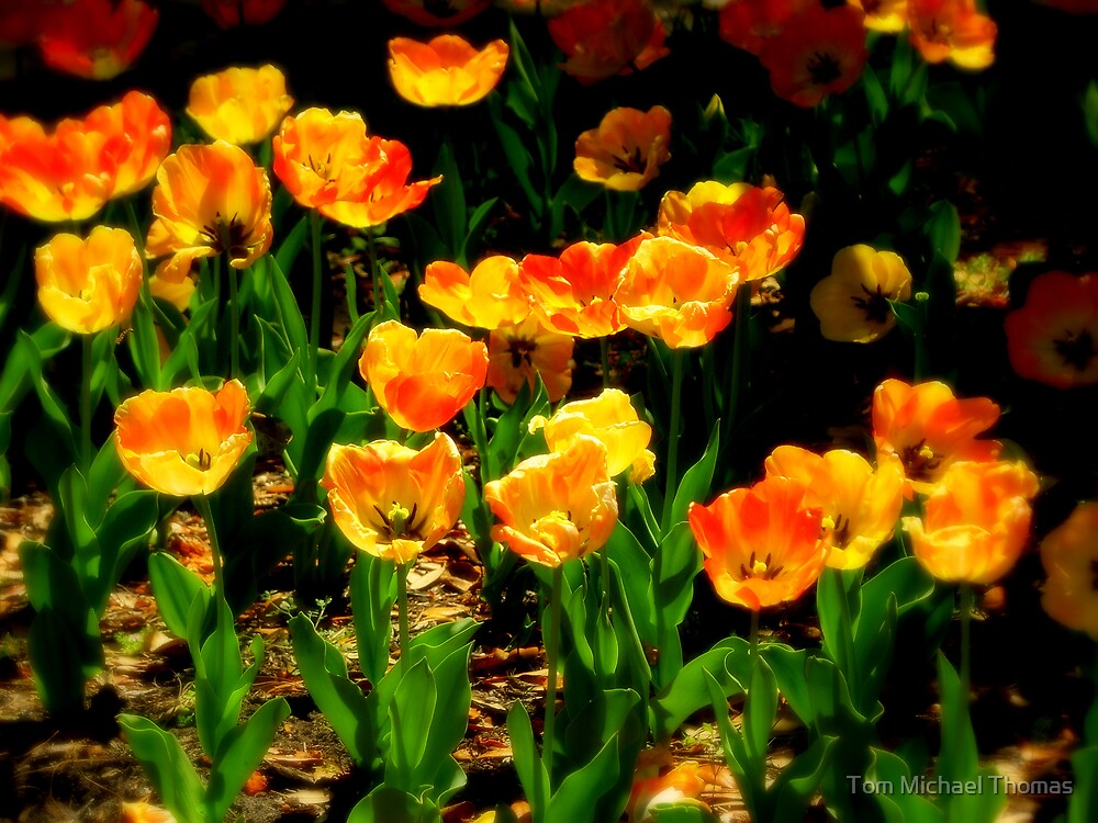 Tulips Rising by Tom Michael Thomas