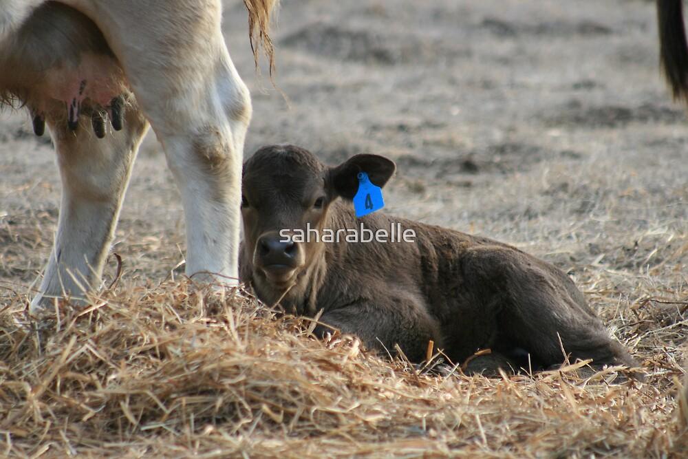 Calf Feeds by saharabelle