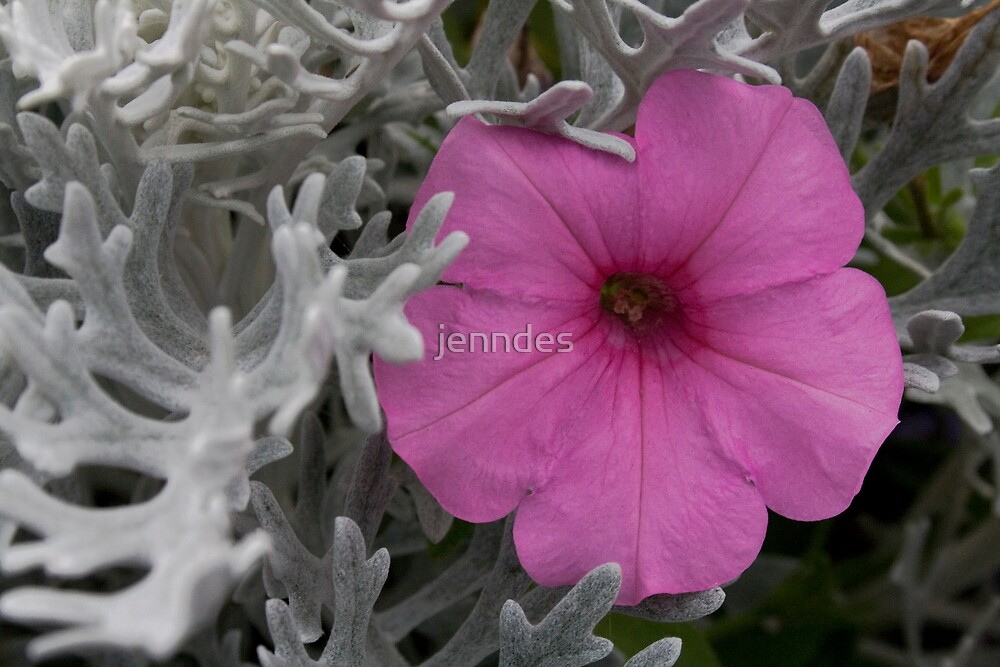 Pink Petunia & Dusty Miller by jenndes