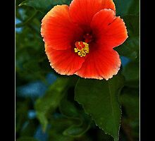 Vermillion Hibiscus - Cool Stuff by Maria A. Barnowl