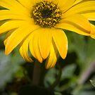 Mornington Daisy by Richard Annable