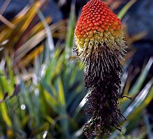 Red Hot Poker by Maria A. Barnowl