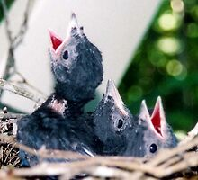 Baby Stellars Jays by Lee Anne French