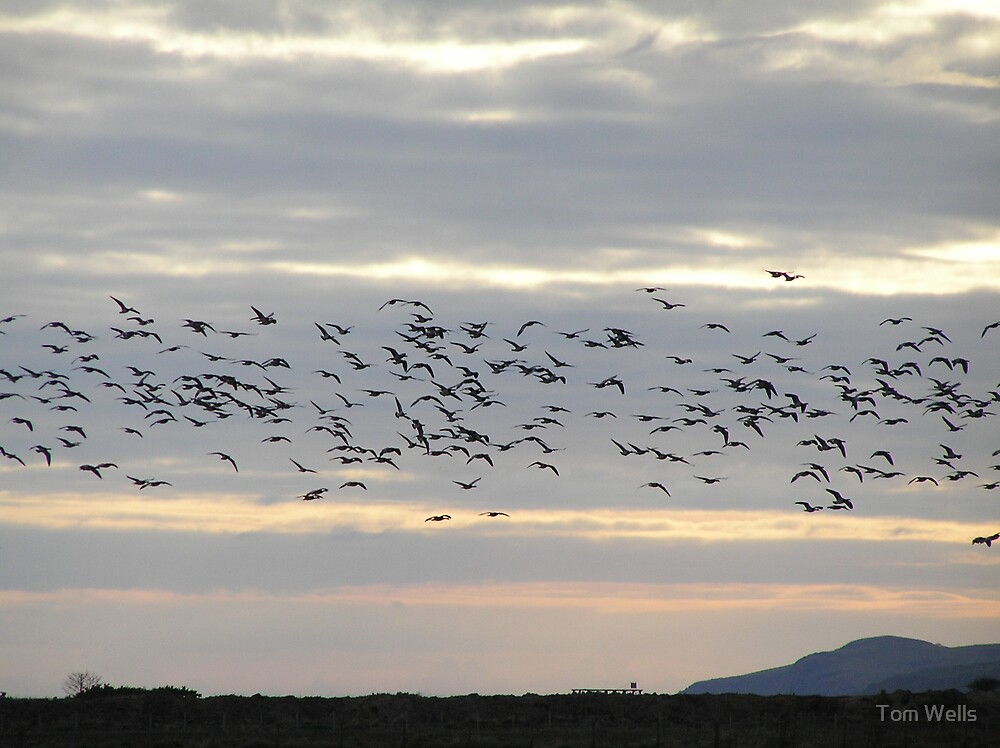 Barnacle Geese At Dusk by Tom Wells