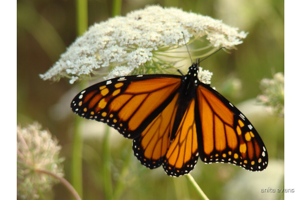 MONARCH BUTTERFLY by anita evans