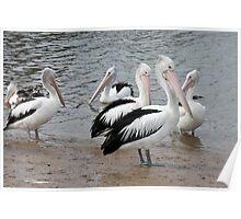 Pelicans. Poster