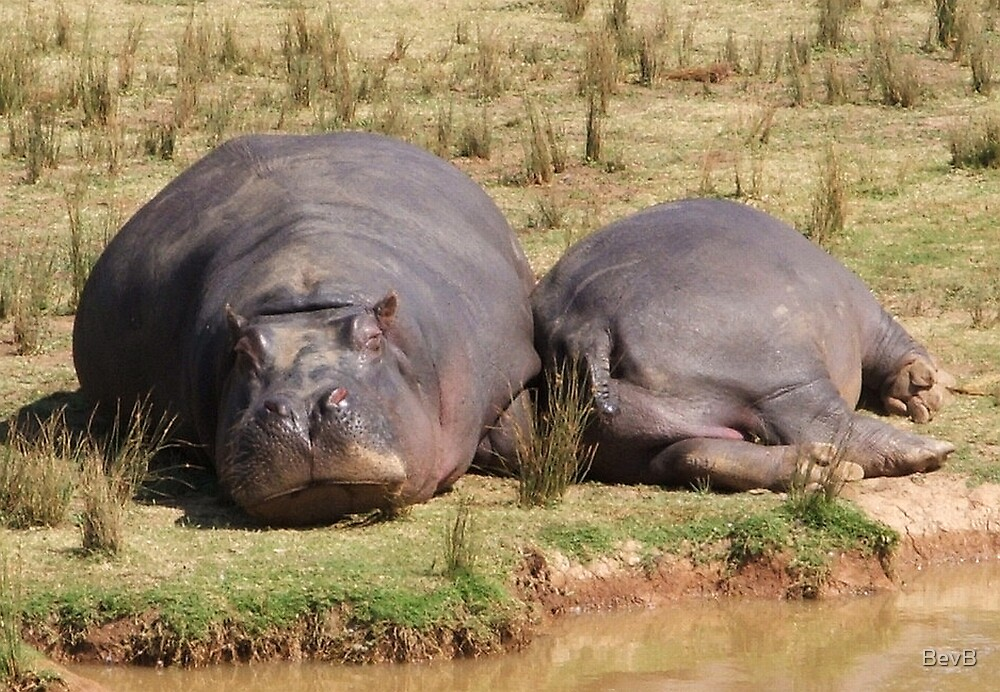 Hippos by BevB