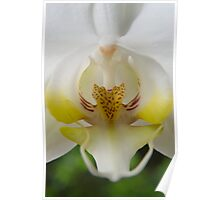 White  Moth Orchid 10 Poster