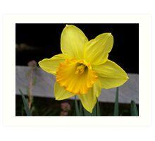 1st Daffodil Art Print