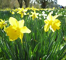 Daffodils by Stephen  Shelley