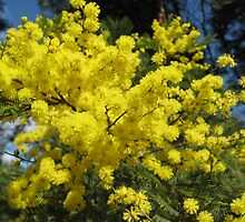 Australian Wattle by Stephen  Shelley