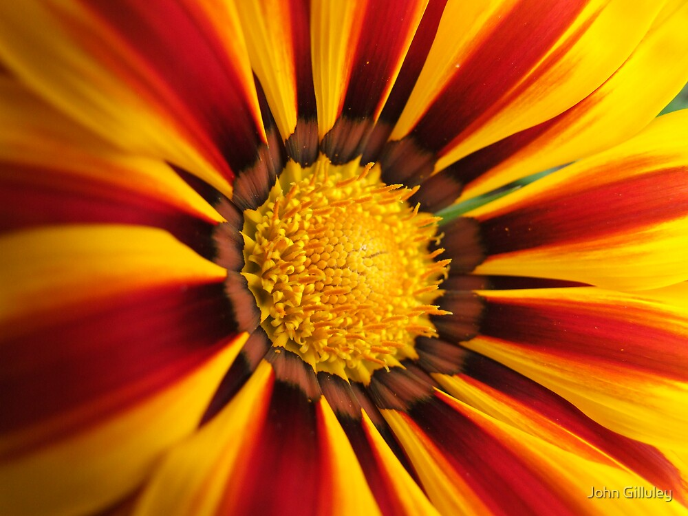 Sunburst Daisy... by John Gilluley