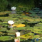 where the water lillies grow by trickyruby