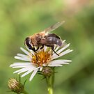 Bee eating by DavidCucalon