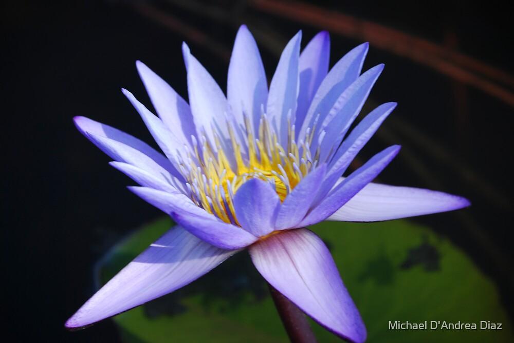Blue Pond Lily by Michael D'Andrea Diaz