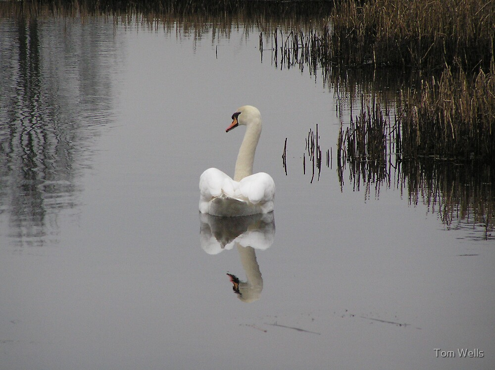 The Elegance of the Swan by Tom Wells