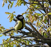 Great Tit by Tom Wells