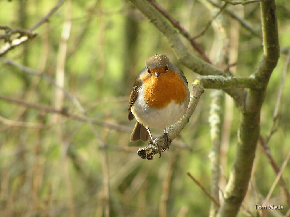 Beautiful Robin by Tom Wells