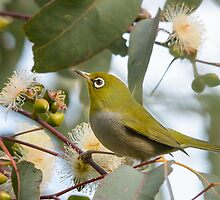 Silvereye looking for morning tea by Jennie  Stock