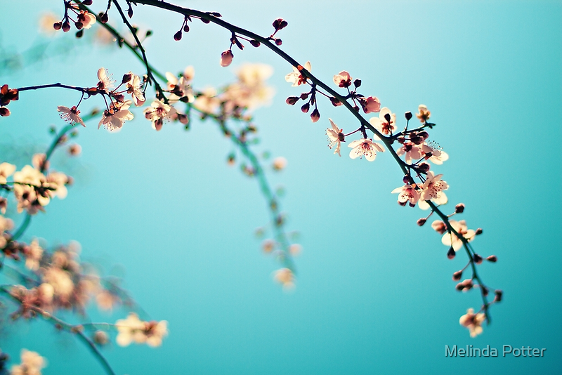 Blossoms in the Sun by Melinda Potter