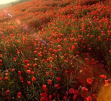 Poppy field.. by TonyLegg