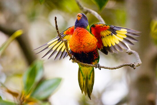 Baby rainbow lorikeet by Sheila  Smart
