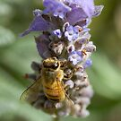 Lavender Bee by MikeBJ