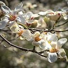 Flowering Magnolia by Cathy Donohoue