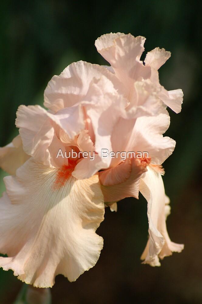 The bearded Iris by Aubrey  Bergman