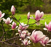 Blooming Magnolia Tree Close-up by Danuta Antas