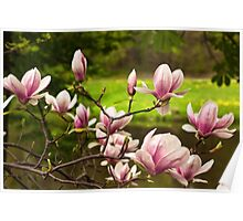 Blooming Magnolia Tree Close-up Poster