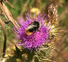 Bumble on thistle by Sue Hammond