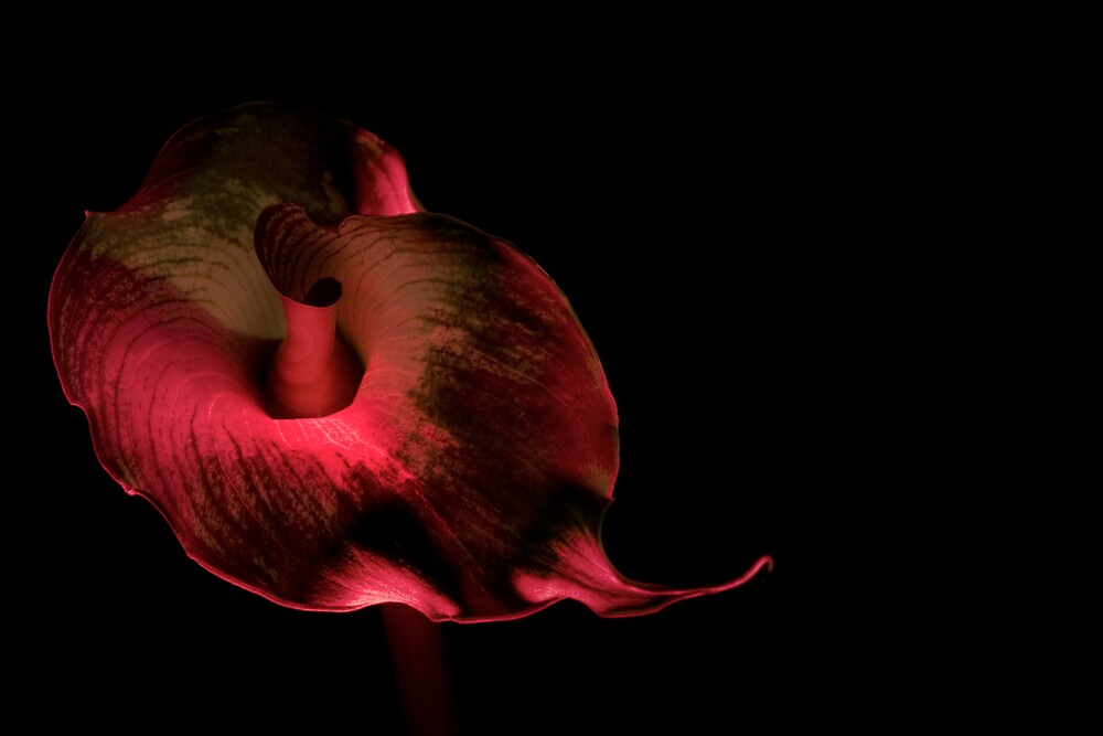 Red Calla by David Thibodeaux