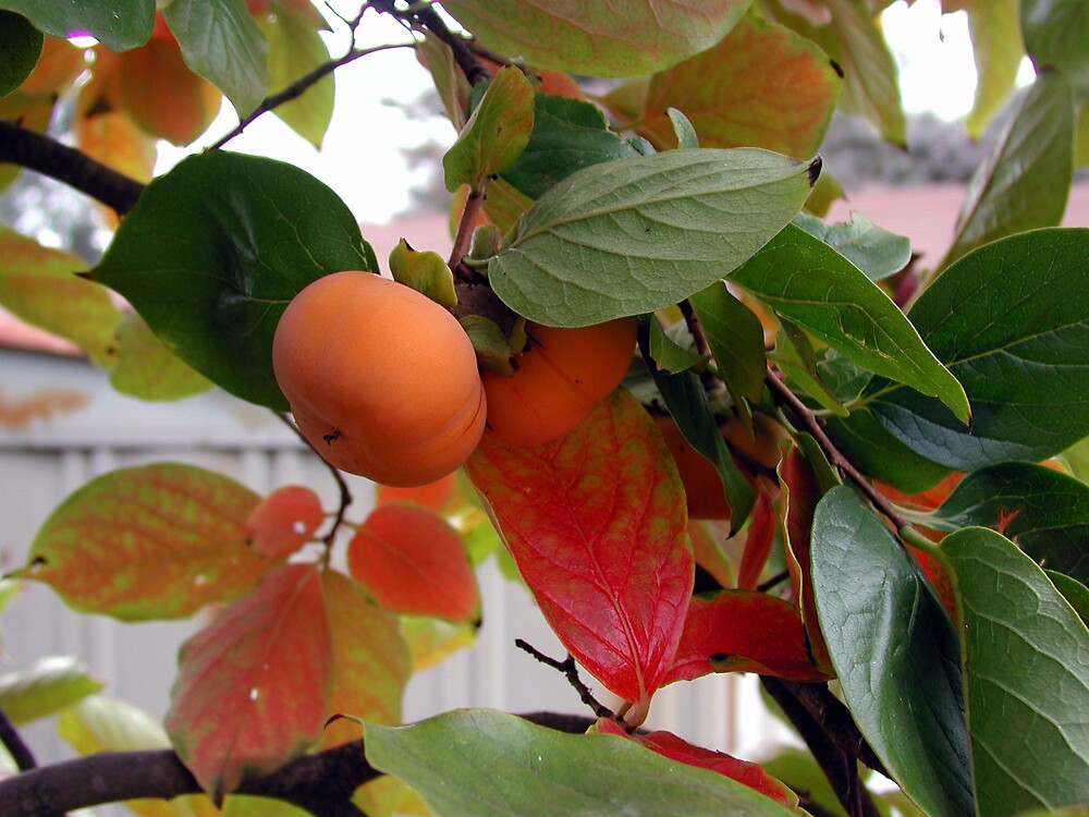 Persimmon Tree by soloing