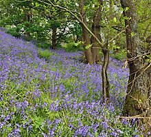 Bluebell Woods by Gary Kenyon