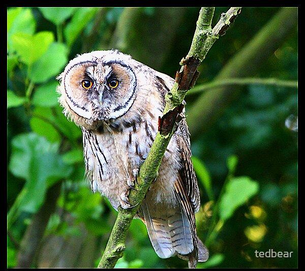 Long Eared Owl by tedbear