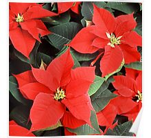 Christmas Red Poinsettia Plants  Poster