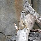 Meerkat by Melanie PATRICK