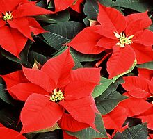 Christmas Red Poinsettia Plants  by taiche