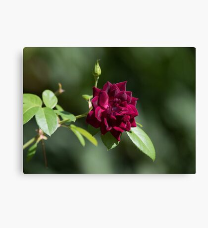 Rich Rose Canvas Print