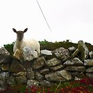 Curious Sheep - Fanad Head, Donegal, Ireland by Shulie1