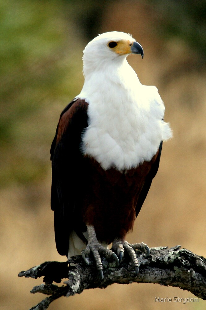 Fish Eagle by Marie Strydom