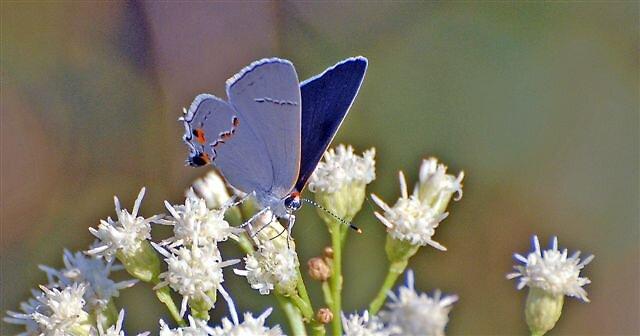 Butterfly by raptrlvr