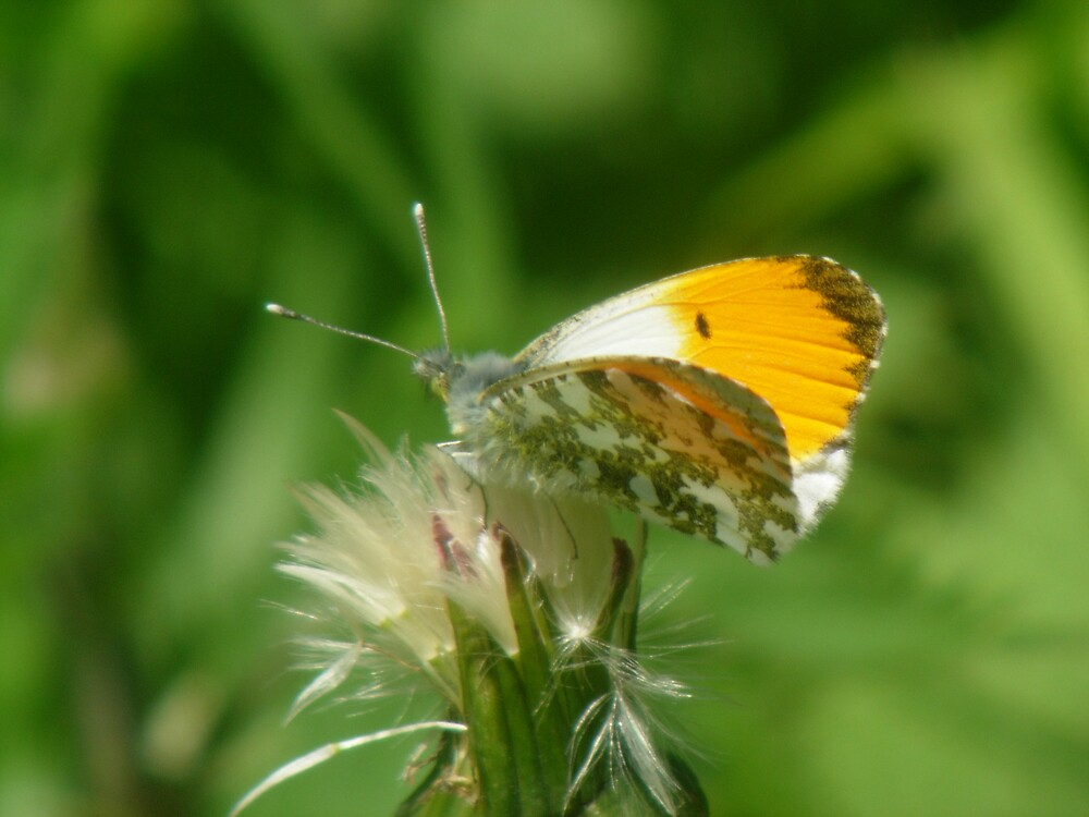 Orange-tip Butterfly by Monster