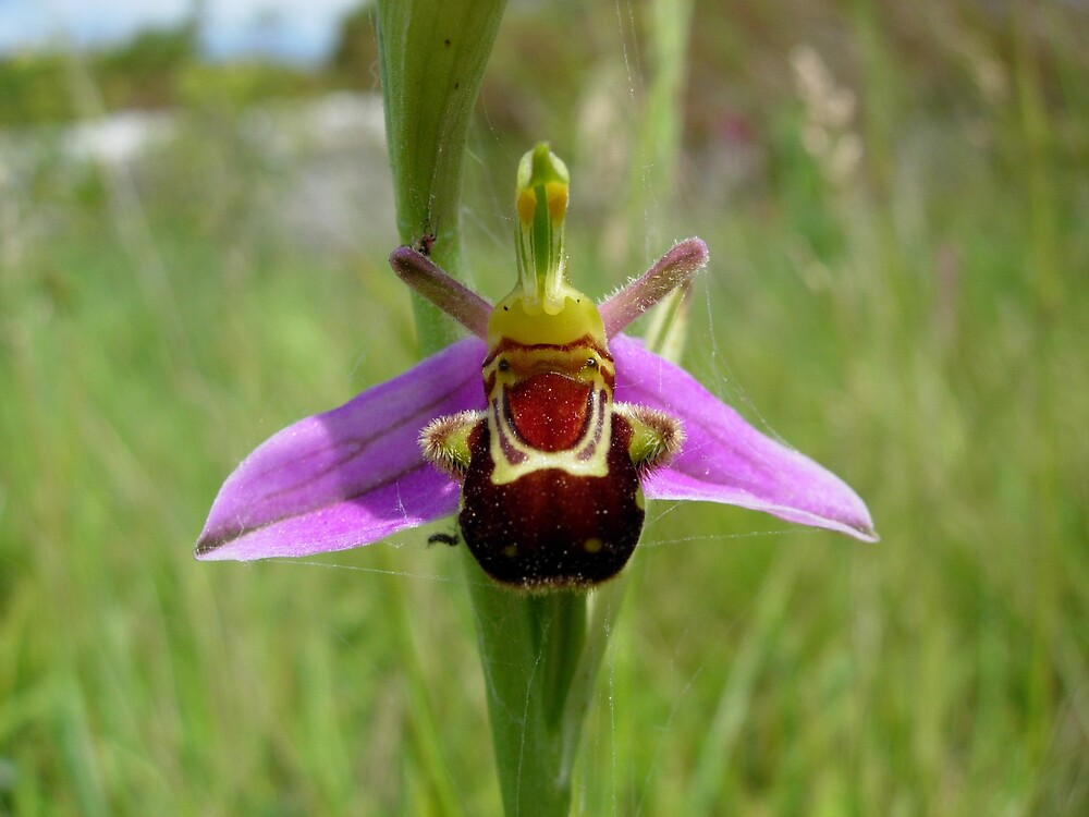 Bee Orchid by Monster