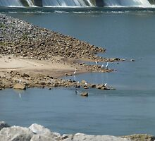 Herons Below The Dam by WildestArt