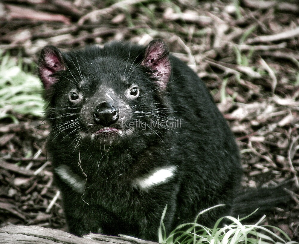 Tasmanian Devil by Kelly McGill
