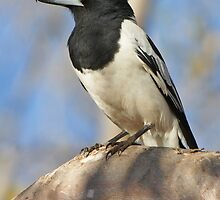 Pied Butcherbird by Robert Elliott
